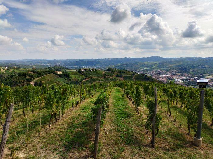 wine Vine -