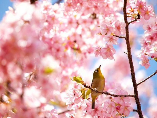 河津桜とメジロ First Eyeem Photo Flower Bird Spring Flowers Natural Photo Festival Flowers Sakura Japan Spring Mejiro