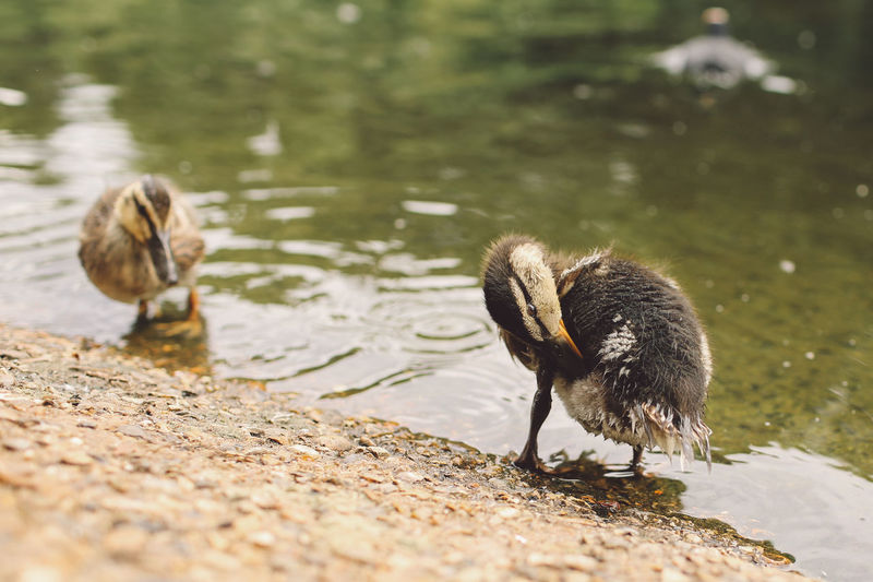 Animal Themes Animals In The Wild Avian Beak Bird Chick Duck Full Length Lake Lakeshore Nature No People Riverbank Selective Focus St James Park  Tranquility Water Water Bird Wildlife Zoology