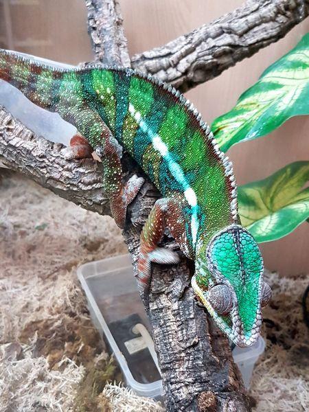 Chameleon Chameleon On A Tree Chameleon Green Beautiful Lizard Love Lizard Close Up Lizard Photography Irridescent
