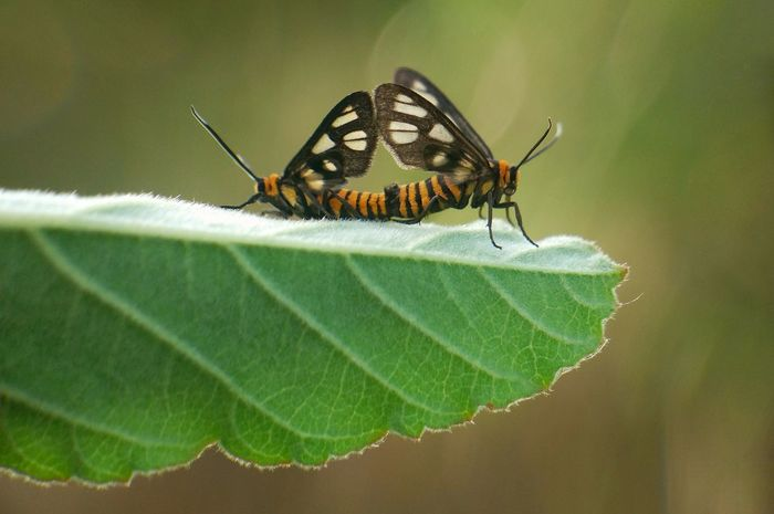 Insect Leaf Animals In The Wild Animal Themes Animal Wildlife No People Green Color Nature Close-up Day Outdoors Beauty In Nature Freshness Mating Pair Of Butterfly Macrophonegraphy Tigermoth EyeEmNewHere