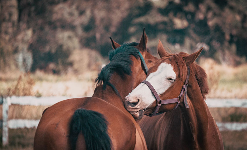 Horses Horse Livestock Domestic Domestic Animals Mammal Animal Animal Wildlife Animal Themes Pets Vertebrate Focus On Foreground Group Of Animals Working Animal Two Animals Day Brown Herbivorous Bridle Field Nature No People Outdoors Ranch