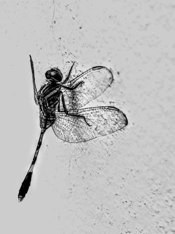 🐉 FLY monochrome photography Motog5splus Moto Blackandwhite Photography Black And White Photography Insect Dragonfly No People Outdoors EyeEmNewHere Black & White Perspectives On Nature Black And White Friday Be. Ready. EyeEm Ready   AI Now EyeEm Ready   Close-up Nature Day Go Higher