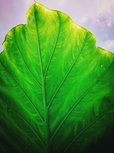 Leaf and Sky Leaf ElephantEar Green Garden Plants Nature Botanical