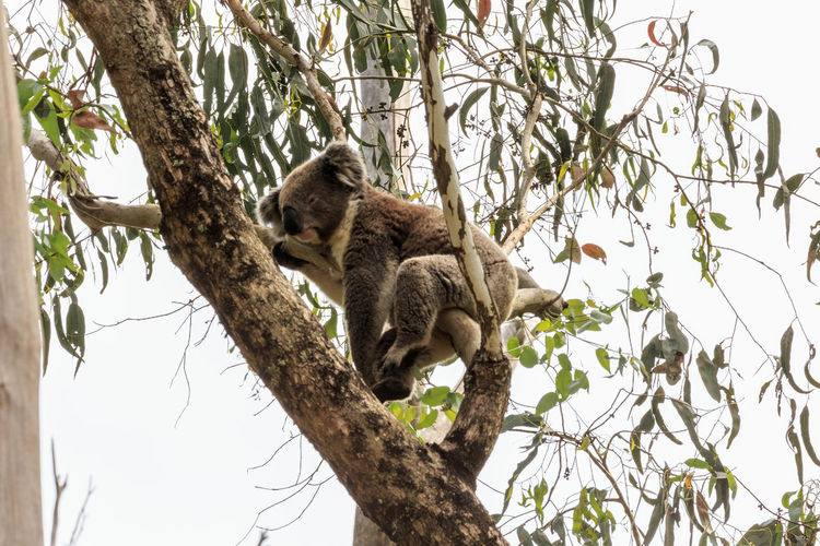 Low angle view of a tree with koala