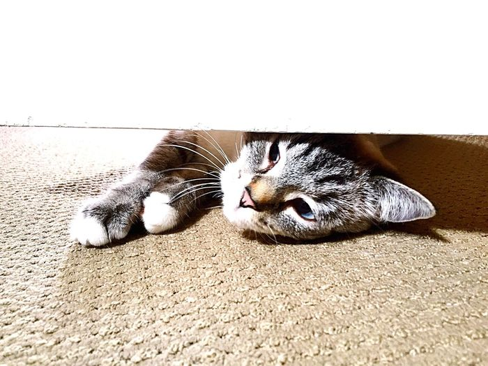 Cat under the door Domestic Cat Feline Domestic Animals Animal Themes Pets Mammal Cat One Animal Lying Down Whisker Resting Relaxation Indoors  Cat Lovers Cats Of EyeEm Cat♡ Behind The Door Cats Catlovers