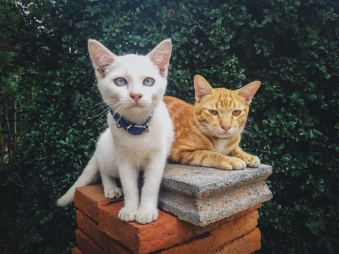 Thailand EyeEm Selects Pets Portrait Sitting Feline Looking At Camera Domestic Cat Dog Whisker Close-up Ginger Cat Sticking Out Tongue Tabby Stray Animal Human Tongue Siamese Cat Pet Collar Cat Kitten Animal Tongue Persian Cat