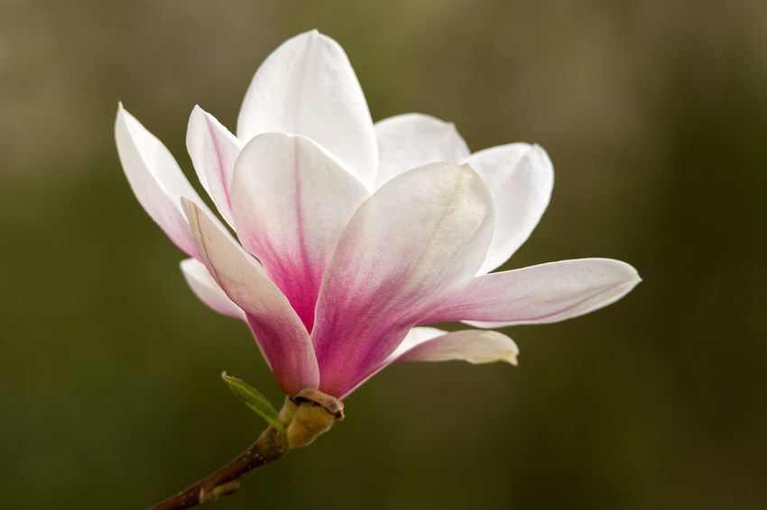 Magnolia Magnolia Magnolia Blossoms Magnolia Flower Magnolia Tree Magnolia_Blossom Magnolias Blooming Magnolie Magnolienknospe Beauty In Nature Close-up Flower Flower Head Magnolia Blossom MagnoliaTree Magnoliaceae Magnolias Magnolien Magnolienblüte Nature No People Outdoors Plant