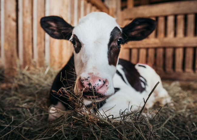 Animal Animal Pen Baby Cow Cattle Cow Focus On Foreground Livestock Looking At Camera Mammal Nature One Animal Portrait Snout