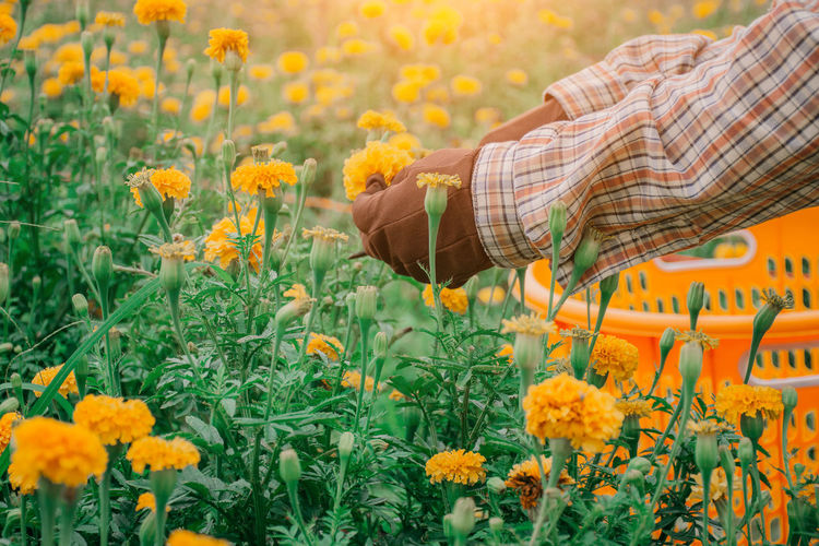 Cropped hands of person picking flowers