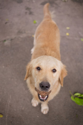 Portrait of golden retriever with toy on footpath