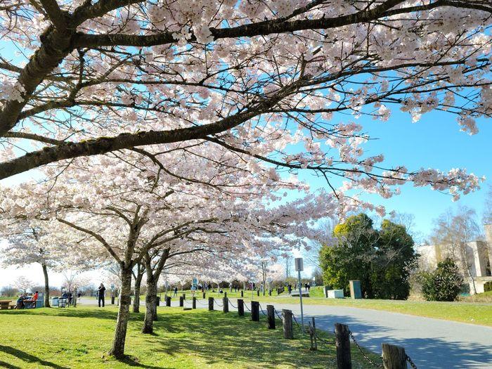 View of flowering trees in park