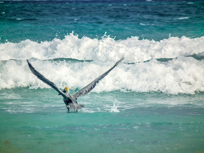 Pelican with spread wings on sea against waves