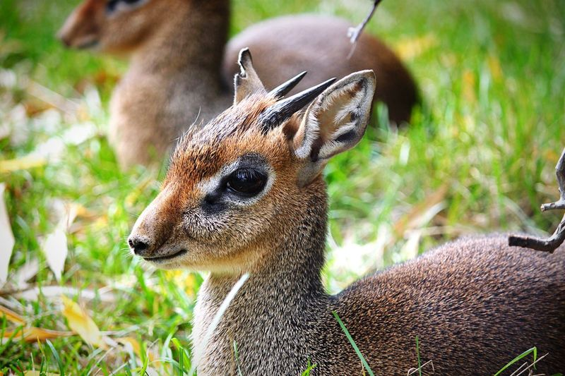 Kirk Dik Dik close-up portrait Herbivore Exotic Kirk Dik Dik Animal Themes Animal Animal Wildlife Animals In The Wild One Animal Vertebrate No People Mammal Focus On Foreground Close-up Nature Day Animal Head