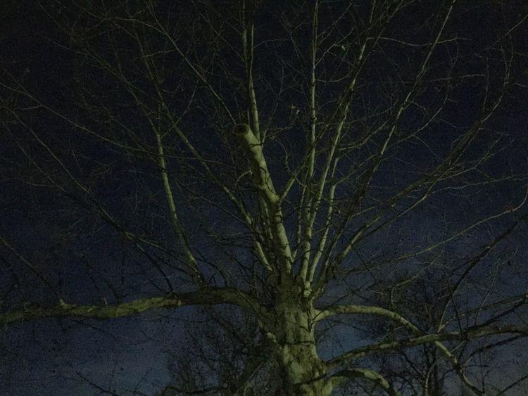 Sycamore at dusk Taking Photos Light And Shadow Trees Treescollection Tree TreePorn Dusk