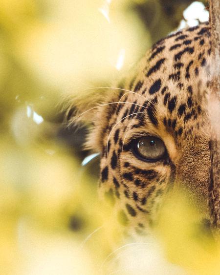 Eye of the Leopard Leopard Africa Safari Animals Animal Eye Big Cat Beauty In Nature Wildlife Cat Wildlife Photography Hidden Predator