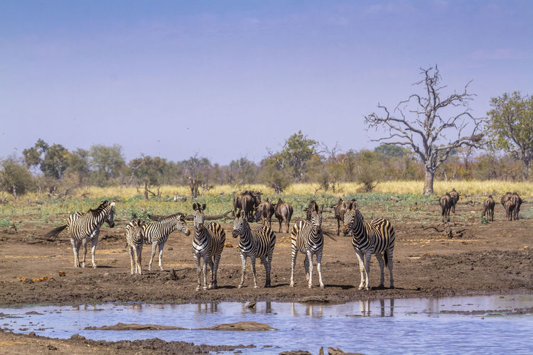 Zebras standing on land by lake against clear sky