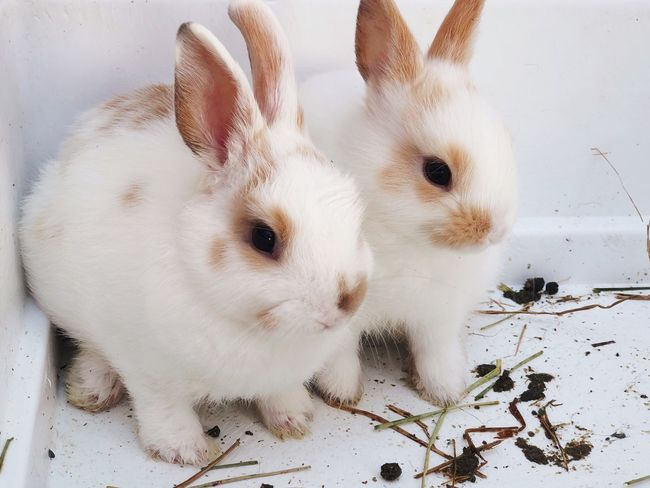 White rabbits 🐇 Brothers Farm Animal White Rabbit Baby Bunnies Bunny  Rabbit Mammal Animal Animal Themes Pets Domestic Domestic Animals One Animal White Color Vertebrate Rabbit - Animal Close-up Portrait Animal Body Part