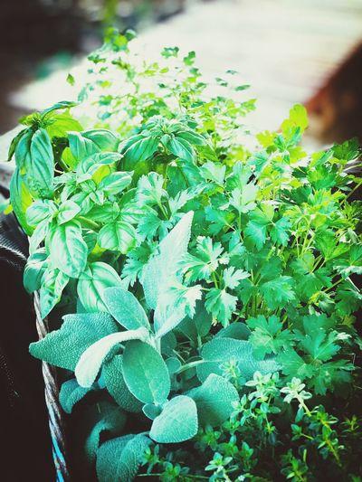 My Herbs Plant
