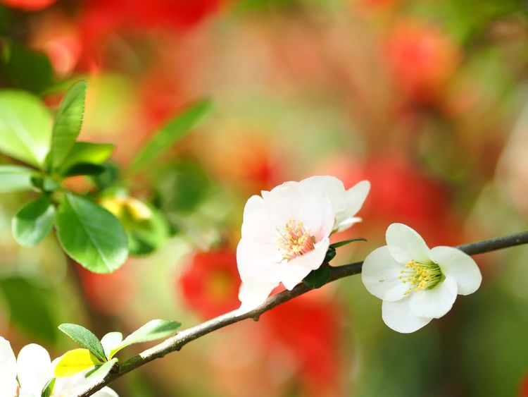 Japanese quince. Olympus OM-D E-M5 Mk.II Japanese Quince Plant Flowering Plant Flower Fragility Vulnerability  Close-up Focus On Foreground Freshness Leaf Flower Head Branch Blossom Day