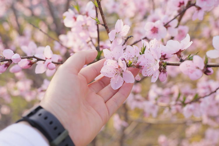 Close-up of hand holding cherry blossoms