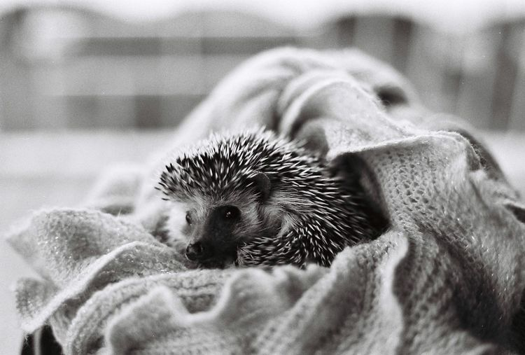 Close-up of hedgehog