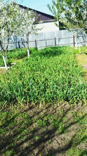 Plant Growth Grass Green Color Nature Field No People Land Beauty In Nature Fence Tranquility Outdoors Day Building Exterior Boundary Tree Agriculture Architecture Built Structure Barrier Chechen Republic Green Color Beauty In Nature Freshness Chechenfood