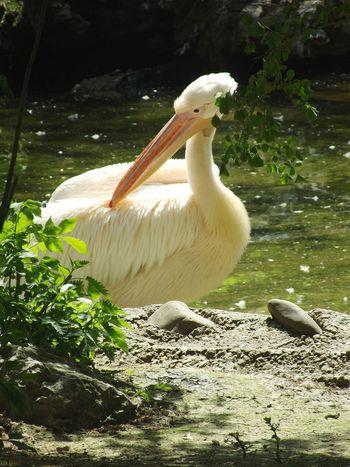 White Pelican Nature Animal Zoo Bird Water Beak Pelican