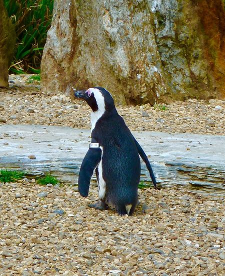 Penguin Whipsnade Zoo Nature No People One Animal Animal Themes Bird Animals In The Wild Nature Animal Wildlife Day Outdoors Mammal