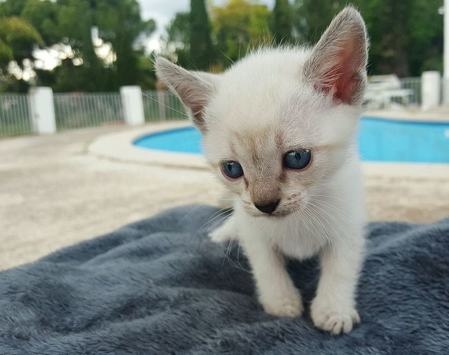 Pets Domestic Cat Domestic Animals Mammal One Animal Portrait Animal Themes Looking At Camera Feline No People Close-up Day Outdoors Cat Siamese Kitty Cat Young little cat