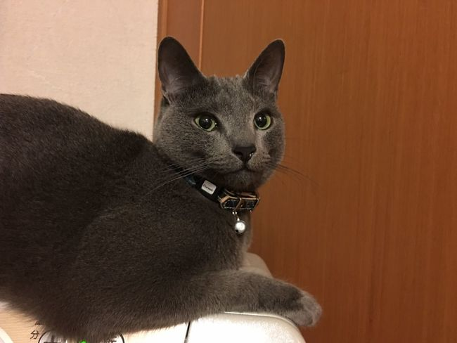Cat RussianBlue Kitten Mycat