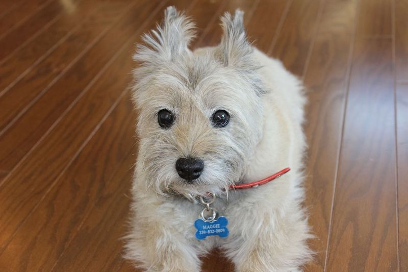 My Cairn Terrier Is 16 Yrs Old, My Friend, Buddy, Dogs, Dog Collection, Animals , All By Myself, Bluffton Sc, Open Edit For Everyone Check This Out Enjoying Life One Of My Favorite Things Everyday Joy Hanging Out Hello World Relaxing Cheese!