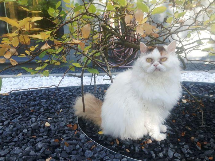 Ulala Cirratus cat Cat