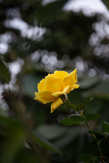 yellow rose   daylight photography Flowering Plant Flower Plant Yellow Vulnerability  Fragility Beauty In Nature Close-up Flower Head No People Nature Focus On Foreground Rose - Flower Daylight Photography Roses