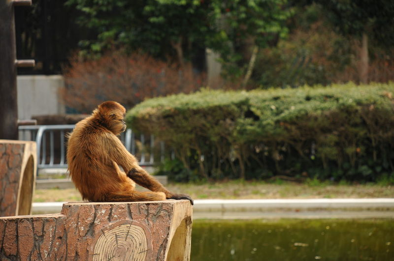 Monkey relaxing on built structure by pond at hamamatsu city zoo