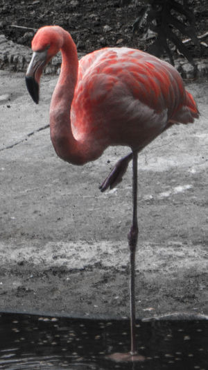 Animal Themes Animal Wildlife Animals In The Wild Beak Beauty In Nature Bird Close-up Day Flamingo Full Length Lake Nature No People One Animal Outdoors Red Water
