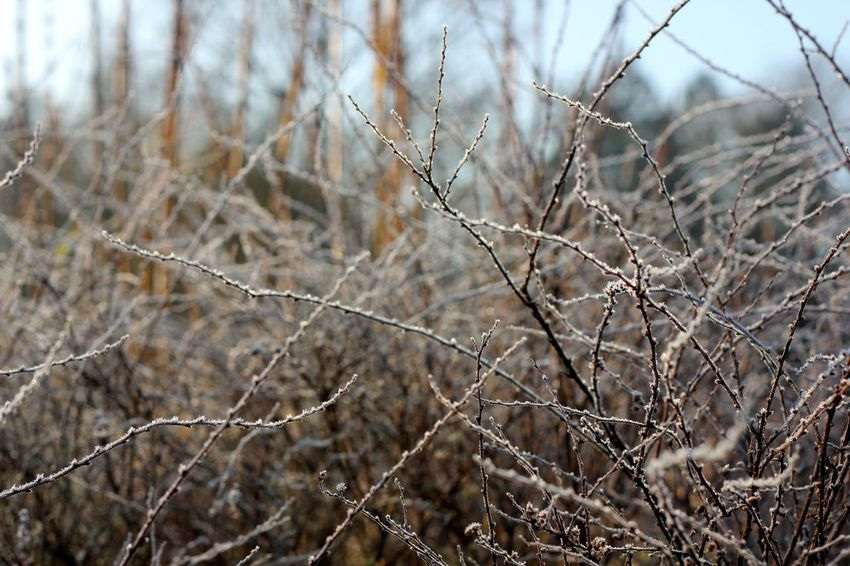 frosty twigs on a bush Frost Winter Bare Tree Beauty In Nature Branch Close-up Day Focus On Foreground Frosty Nature No People Outdoors Tranquility Tree
