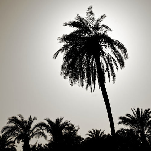 Silhouette of a large palm tree in the back light, photographed on the beach of Aqaba, Jordan Aqaba Aqaba Jordan Backlight Palm Tree Silhouette Beach Beauty In Nature Clear Sky Day Growth Low Angle View Nature No People Outdoors Palm Frond Palm Grove Palm Tree Scenics Silhouette Sky Tree Tree Trunk