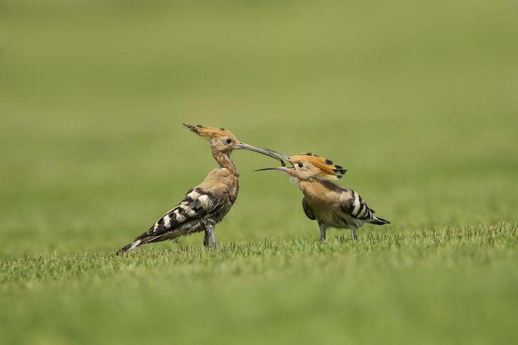 Side View Of Hoopoe Feeding Young Bird