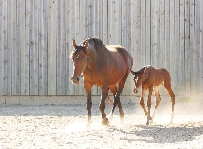 Horses on sand