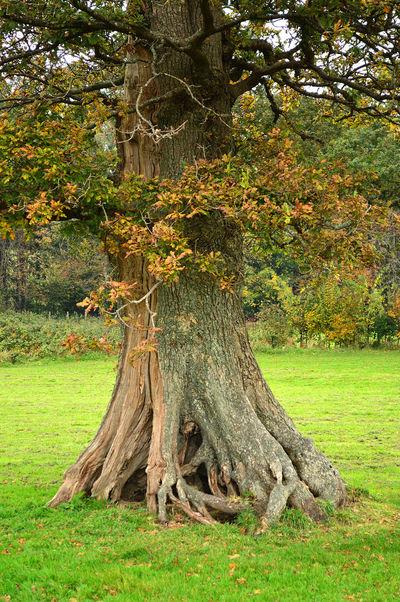 Beauty In Nature Devon England English Oak Filham Park FilhaMeuAmorMaior💞 Grass Green Color Growth Ivybridge Knarled Roots Landscape Nature No People Oak Oak Tree Outdoors South Hams Sunlight Tree Tree Trunk