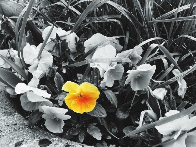 Springtime Flower Petal Flower Head Growth Nature Outdoors Beauty In Nature Pansy Flower yellow Blooming Rainy Days The Secret Spaces