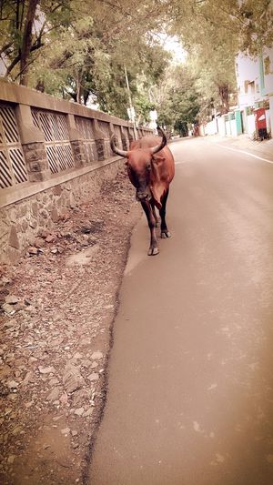 Cow Road Walk Morning