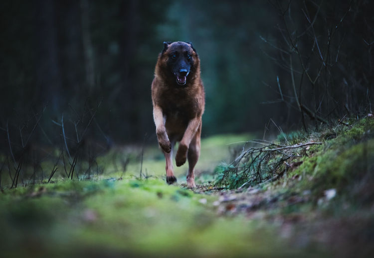 Close-up of a running dog on field