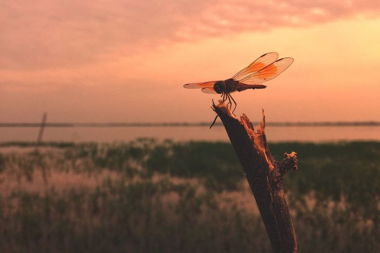 Close-up of dragonfly during sunset