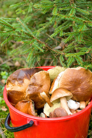 Mushroom picking in forest in Poland, Masuria district. Plenty big ripe mushrooms lying picked in red plastic bucket under spruce twigs on the ground, open air. Vertical orientation, nobody. Autumn Boletaceae Boletus Bucket CEP Fir Fungus Gleaned Groundcover Mushroom Mushrooming Mushrooms Nature Pick Picked Picking Porcino Raw Red Ruciane Nida Ruciane-Nida Spruce Undergrowth Woods