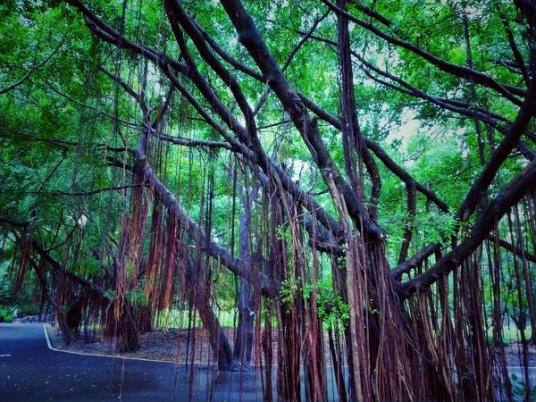 Tree Photography Tree View Low Angle View Banyan Banyan Tree Banyan Root Banyan Tree Roots Banyan Tree Trunk Beautiful Nature Beauty Of Nature Beauty Of Tree Tree In The Park The Park Big Tree Big Truck Nature Photography Tree In Nature Green Tree Green Trees Way In The Park Root Roots Roots Of Tree Root Of A Tree Root Of The Tree Root Of Tree Root Of Banyan Tree Tree Tree Trunk Green Color Green