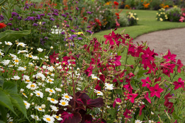 Garden flower summer Beauty In Nature Blooming Day Flower Flower Head Flowerbed Focus On Foreground Fragility Freshness Garden Flowers Growth Growth Leaf Leucanthemum Vulgare Nature Nicotiana Sanderae No People Outdoors Petunia Plant Red Selective Focus Summertime