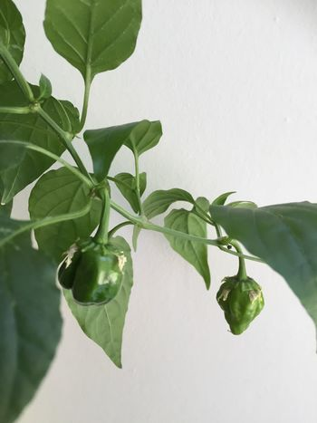 Homegrown Scotch Bonnet Chili  Green