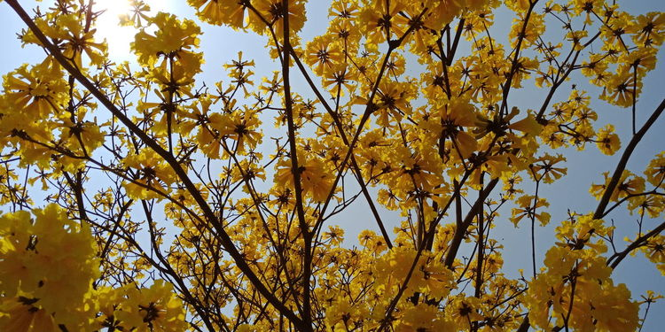 Tree Flower Branch Yellow Backgrounds Clear Sky Full Frame Sky Close-up
